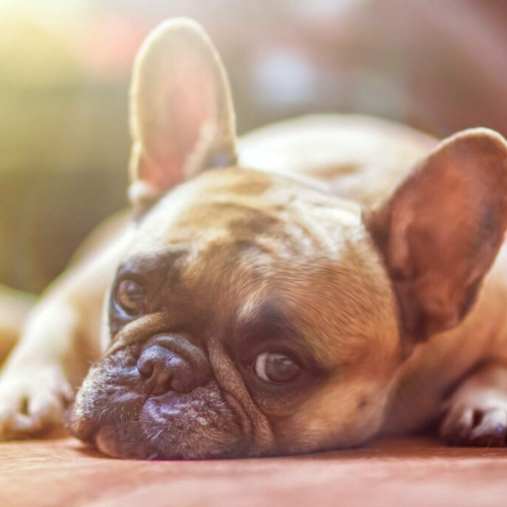 Researchers find CBD improves arthritis signs in pets